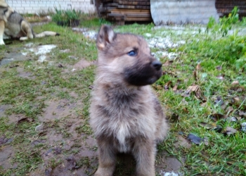 Чешский Волчак!!