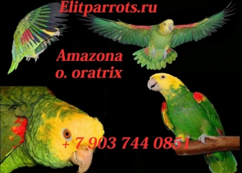 Желтоголовый амазон (Amazona o.oratrix) ручные птенцы из питомников Европы