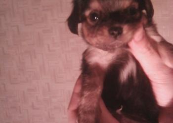 Милый щенок чихуахуа Кубик