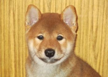 Перспективный щенок Сиба Ину