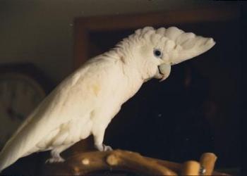 Какаду соломонов или соломонский