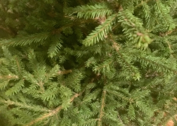 Живая елка с доставкой на дом.За качество  отвечаем!