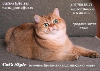Британский кот Золотая Шиншилла (тиккированный) на вязку