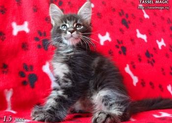 Котята породы мейн-кун с яркими породными данными