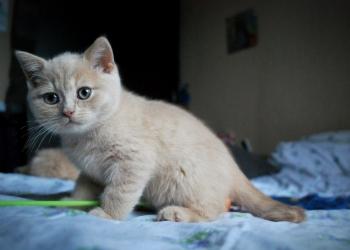 Элитный британский котенок редкого окраса