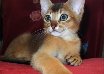 Абиссинские котята с клубными документами