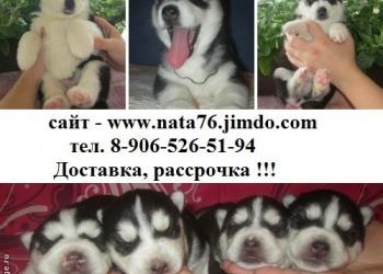 Щеночков сибирской хаски продам