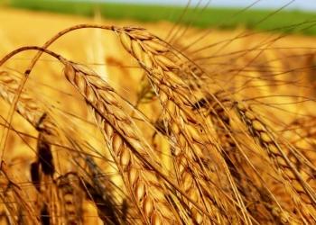 Продам Пшеницу 4кл