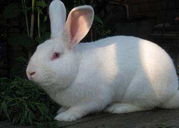 Кролики мясное направление, порода белый великан