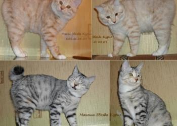 Красивые, породные короткошерстные котята Курильского бобтейла ШОУ - класса