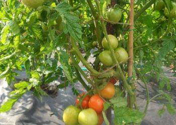 Семена скороспелых томатов, арбузов, огурцов, дынь для Сибири.