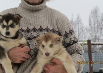 Предлагаю щенков породы сибирский хаски