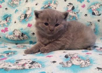 Плюшевые шотландские котята