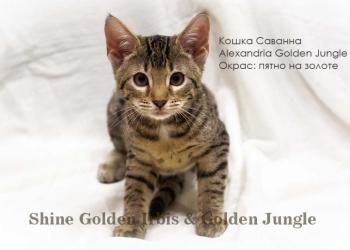 Леопардовые котята породы Саванна. Кошка Саванна F5