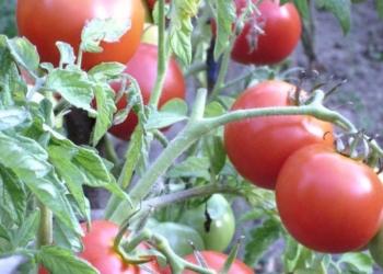 Без рассадные томаты (семена) на сайте скороспелка.рф