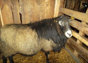 Ягнята, романовские чистопородные овцы, баранина, ягнятина