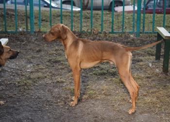 Продаю охотничью собаку Английский пойнтер
