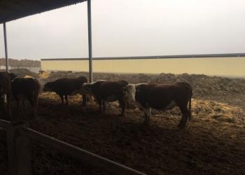 Товарные бычки Герефорды