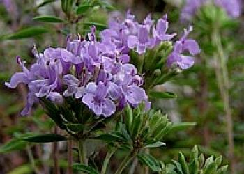 Зизифора - редкое пряное и лекарственное растение. Семена почтой по России.