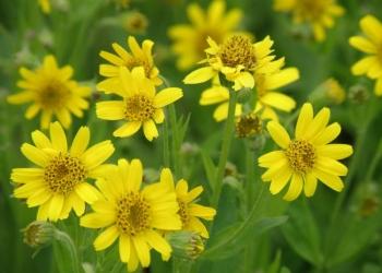 Арника сахалинская – редкое ценное лекарственное растение при болезнях сердца.