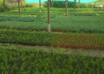 Продам саженцы декоративных и плодовых растений р9 оптом