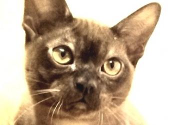 соболиный бурманский котик на продажу