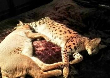 Продажа котят Каракала и Сервала.89879560680