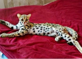продаются азиатские леопардовые котята и камышовые котята.89879560680