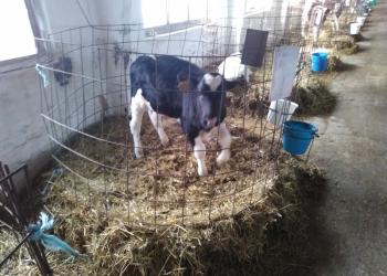 Продажа телят бычков и тёлочек с Доставкой