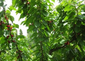 Саженцы ягодных и плодовых из Европы