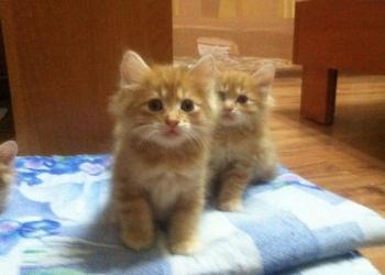 Сказочные котята Курильского бобтейла