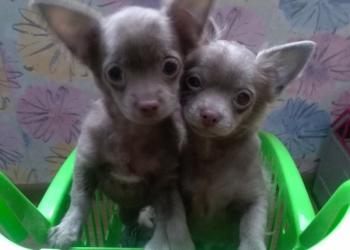 Лиловые щенки чихуахуа