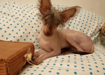 Шоколадный голый щенок