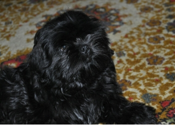 Продам щенка ши-тцу
