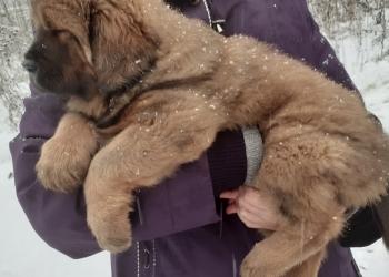 Продам щенка тибетского мастифа