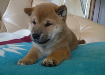 Предлагаем щенка Сиба-ину (Шиба-ину)