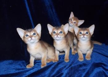 Абиссинские котята-большой выбор