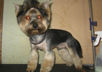 стрижка,тримминг(щипка) собак и кошек