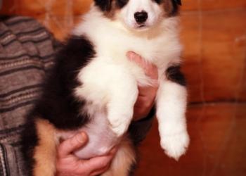 щенок австралийской овчарки