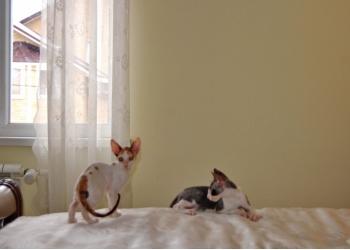 Корниш-рекс котенок