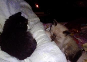 Отдам очаровательных пушистых котят в добрые заботливые руки