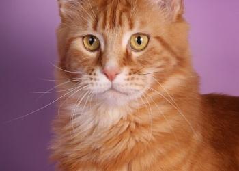 Котята Мейн-кун чемпионских кровей!