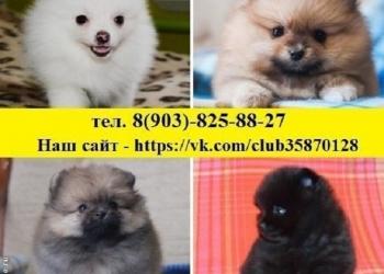 Поразительные щенки шпица продаются