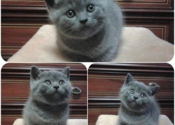 Шотландские котик и кошечка.