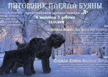 Щенок русского черного терьера.