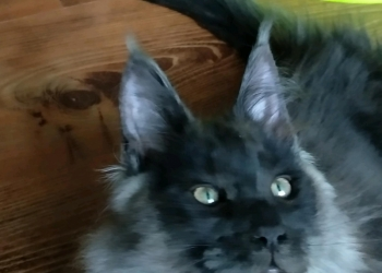 котята мейн-кун д.р. 01.11.17 разных окрасов.