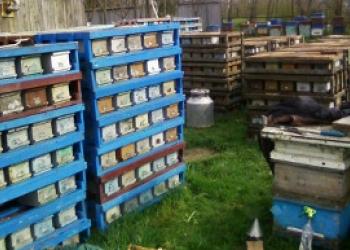 пчелопакеты пчеломатки