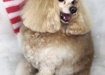 """Cтрижка собак и кошек на Кутузовском. Вакцинация. Груминг-салон """" Monica""""."""