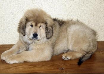 Золотой щенок Тибетский мастиф.