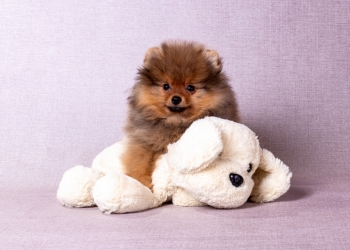 Замечательный щенок от родителей чемпионов